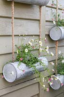 Close up of metal hanging containers, planted with flowering Erigeron 'Profusion'.