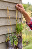 Person hanging the tiered plastic bottle herb planters on front of shed