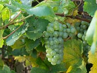 Vitis - Grapes growing on vine.