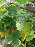 Vitis - Grapes growing on vine