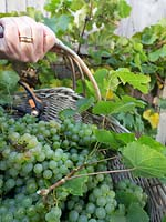 Person holding basket of harvested green grapes with vine in the background.