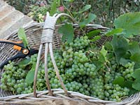 Basket of harvested green grapes with secateurs.