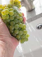 Person washing bunch of harvested green grapes in sink.
