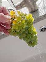 Person washing bunch of harvested green grapes in sink