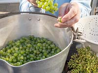 Person pulling grapes off the stalk and dropping into a metal pan.