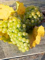 Close up of harvested green grapes with autumnal leaves.