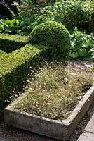 Erigeron karvinskianus - Mexican Fleabane - in stone sink by the Buxus - box - parterre.