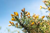 Ulex europaeus - Common Gorse