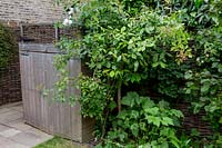 Back Garden of large house in North London with shrubs covering willow hurdle 