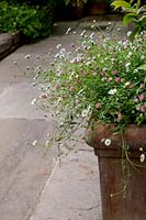 Patio area in Large house in North London Erigeron karvinskianus in large 
