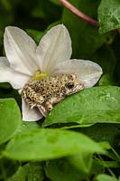 Alytes obstetricans - Common midwife toad - resting in a flower of Clematis 'Huldine'