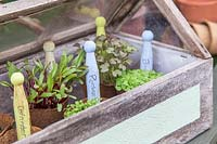 Microgreens in biodegradable pots in miniature greenhouse