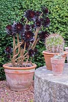 Aeonium arboreum 'Schwarzkopf' with millstone table, Cothay Manor, Somerset