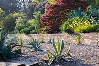 The cactus terrace in early evening sun with agaves. Ventnor Botanic Garden, Ventnor, Isle of Wight, UK.
