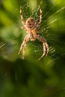 View of underside of spider on its web