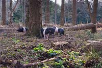 Saddleback pigs being used to clear woodland at The Sir Harold Hillier Gardens, Hampshire County Council, Romsey, Hants, UK.