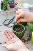 Sowing beetroot seeds in pot