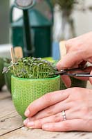Cutting microgreens from miniature pot with scissors