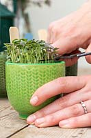 Cutting microgreens from miniature pots with scissors