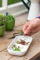 Placing cut microgreens in white dish