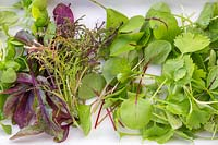 Close up detail of harvested microgreens in white dish, including coriander, basil, sorrel, beetroot and mixed salad leaves.