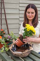 Woman removing plastic pot from Chrysanthemum bedding plant prior to planting into basket.