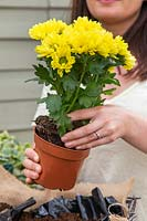 Removing plastic pot from Chrysanthemum bedding plant