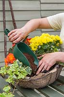 Woman adding additional compost between the bedding plants in basket.