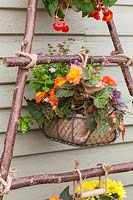 Wire basket lined and planted with Begonia 'Peardrop', Ageratum and Ajuga, tied with rope to vertical hazel stick planter