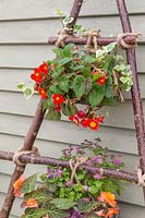 Wire baskets of bedding plants tied with rope to vertical hazel stick planter