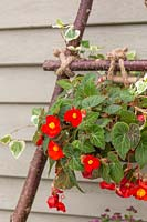 Wire baskets lined and planted with Begonia 'Flamboyant'  tied with rope to vertical hazel stick planter.