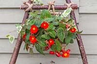 Begonia 'Flamboyant' tied with rope to vertical hazel stick planter