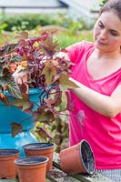 Planting Begonia 'Fireworks' and Ipomoea in bird bath