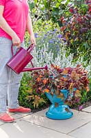 Adding water to bird bath with Begonia 'Fireworks' and Ipomoea