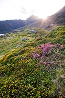 Ulex europaeus - Common Gorse - and Calluna vulgaris - Wild heather in  Snowdonia, Wales, UK.