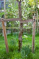 Detail of Pyrus - pear - with staking.