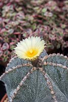 Astrophytum ornatum x myriostigma, a beautiful hybrid cactus with golden flowers.