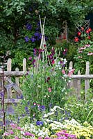 A cane wigwam supporting Lathyrus odoratus - sweet peas - beside a picket fence.