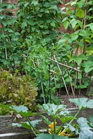 Peas trained between cane and metal supports, growing in a raised bed full of other veg