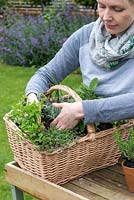 Woman planting a herb basket with creeping thyme, Thymus serphyllum 'Russettings'.