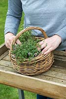 Woman planting a herb basket with creeping thyme - Thymus serphyllum 'Russettings'.