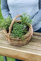Woman holding a  Thyme Herb Basket with three different varieties: Thymus vulgaris - common Thyme, Thymus serphyllum 'Russettings' - Creeping Thyme, and variegated Thymus pulegiodes 'Foxley'.