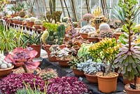 A collection of mature succulents and cacti, at Ottershaw Cacti.