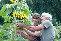 Paul Samuels and Ine Marcelissen tying up a sunflower, Netherlands