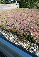 Sedum on roof of shed.