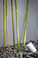 Phyllostachys bissetii, Bisset's Bamboo canes with uplighter