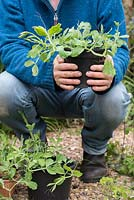 Gardener holding Lathyrus odoratus - young sweet pea plants in a pot before planting out.