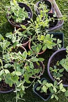 Hardening off Lathyrus odoratus - young sweet pea plants in flower pots before planting out.