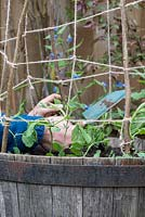 Gardener tying off young Lathyrus odoratus - sweet pea plants - in wooden barrel with wigwam support.