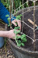 Gardener planting out young Lathyrus odoratus - Sweet pea - plants in a wooden barrel.